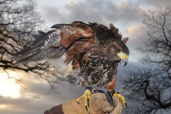 Battlefield Falconry Centre in Shrewsbury